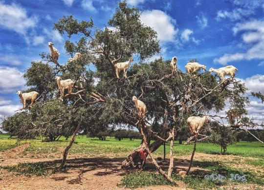 Chichaoua- Goats on Trees.jpeg